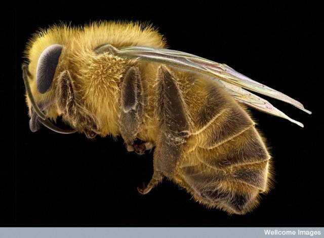 B0007642 Honey Bee