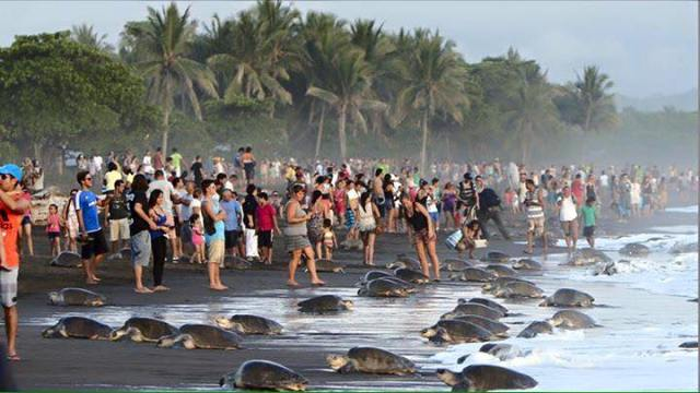 sea-turtles-costa-rica-tourists-2