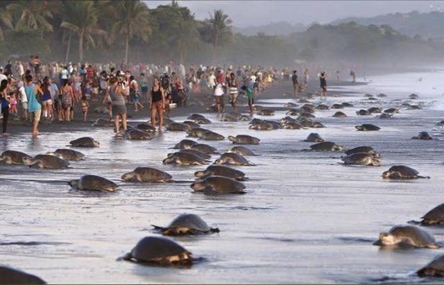 sea-turtles-costa-rica-tourists-3